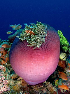 Amphiprion perideraion (Pink anemonefish) in Heteractis magnifica (Magnificent sea anemone)