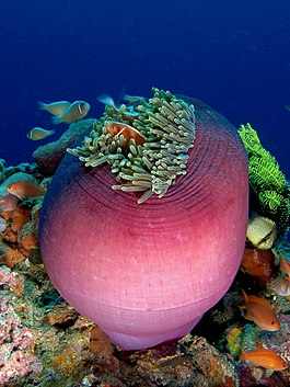 Amphiprion perideraion (Pink anemonefish) in Heteractis magnifica (Magnificent sea anemone).jpg