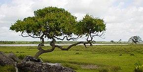 http://upload.wikimedia.org/wikipedia/commons/thumb/1/13/Anacardium_occidentale1.jpg/290px-Anacardium_occidentale1.jpg