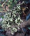 Anamirta cocculus 05.JPG