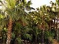 Anamurda Palmiyeler - panoramio (1).jpg