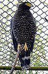 Andaman Serpent-eagle (Spilornis elgini) low res