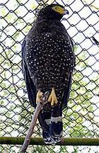 Andaman Serpent-eagle (Spilornis elgini) low res.jpg
