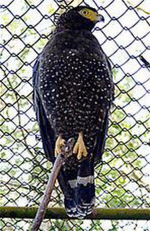 Andaman serpent eagle - Image: Andaman Serpent eagle (Spilornis elgini) low res