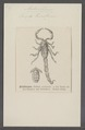 Androctonus - Print - Iconographia Zoologica - Special Collections University of Amsterdam - UBAINV0274 069 02 0017.tif