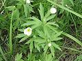 Anemone canadensis 2-eheep (5097830812).jpg