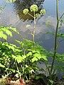 Angelica archangelica subsp. archangelica Dzięgiel litwor 2013-06-23 04.jpg