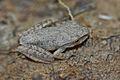 Angkor Frog - Rhacophorus Species (6725942645).jpg
