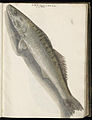 Animal drawings collected by Felix Platter, p1 - (175).jpg