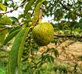 Annona glabra - alligator apple, swamp apple, Kaattatha. 3.jpg