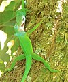 Anolis marmoratus(fight).jpg