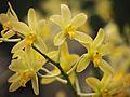 Ansellia africana alba - Flickr. 003.jpg