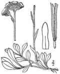 Antennaria howellii neodioica BB-1913.png