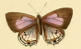 Anthene sylvanus.JPG