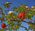 Apfelwunder Birkengrund.jpg