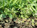 Aphanes arvensis sl102.jpg
