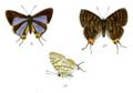 AphnaeusOrissanus 735 2 Fitch.png
