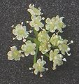 Apium graveolens var. rapaceum flowers.jpg