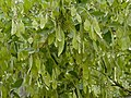 Apple-leaf (Philenoptera violacea) fruits (11712060946).jpg