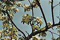 Apple Blossom3.JPG