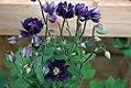 Aquilegia vulgaris Clementine Dark Purple 0zz.jpg