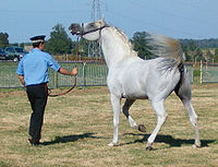 Firm but gentle and patient handling is especially important for hot-blooded horses such as the Arabian.