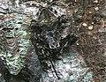 Araneus.ventricosus.male.-.tanikawa.jpg