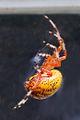 Araneus marmoreus (marbled orb weaver) (Newark, Ohio, USA) 1 (17249877951).jpg