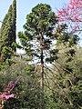Araucaria bidwillii (Serres de la Madone).jpg