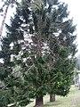 Araucaria bidwillii 01 by Line1.jpg