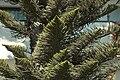 Araucaria columnaris C.jpg