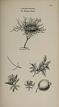 Arboretum et fruticetum britannicum, or - The trees and shrubs of Britain, native and foreign, hardy and half-hardy, pictorially and botanically delineated, and scientifically and popularly described (14783622952).jpg