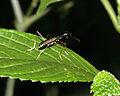 Arboricol Tiger (Cicindelidae- Neocollyris sp.) (8374047808).jpg
