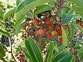 Arbutus andrachne fruits 2.JPG
