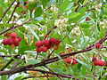 Arbutus unedo off Bayshore Drive at Coal Harbour.jpg
