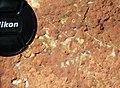Archaeocyathan limestone (Ajax Limestone, Lower Cambrian; Mt. Scott Range, South Australia) 17.jpg