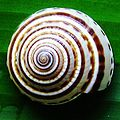 Architectonica perspectiva shell.jpg