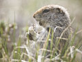 Arctic Ground Squirrel (5302634176).jpg