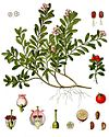 Arctostaphylos uva-ursi - Köhler–s Medizinal-Pflanzen-013.jpg