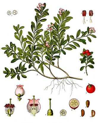 Arctostaphylos uva-ursi - Arctostaphylos uva ursi from Koehler's 'Medicinal-Plants' (1887)