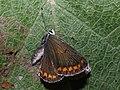 Aricia agestis - Brown argus - Голубянка бурая (39205479970).jpg