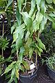 Aristolochia westlandii - Botanischer Garten, Dresden, Germany - DSC08449.JPG