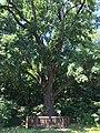 Arkhangelskoe-Turikovo estate park european oak.jpg