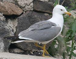 Armenian gull near Sevanavank, side view.jpg