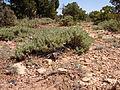 Artemisia arbuscula (6348126414).jpg