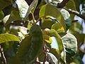 Artocarpus lakoocha (5485494732).jpg