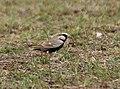 Ashy-crowned Sparrow Lark (Eremopterix grisea)- Male in Hyderabad, AP W IMG 8050.jpg