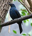 Asian Fairy Bluebird Image 002.jpg