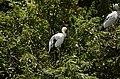 Asian openbill stork (Anastomus oscitans) from Ranganathittu Bird Sanctuary JEG4052.JPG