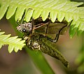 Asilidae. Robberfly with moth (45668532811).jpg